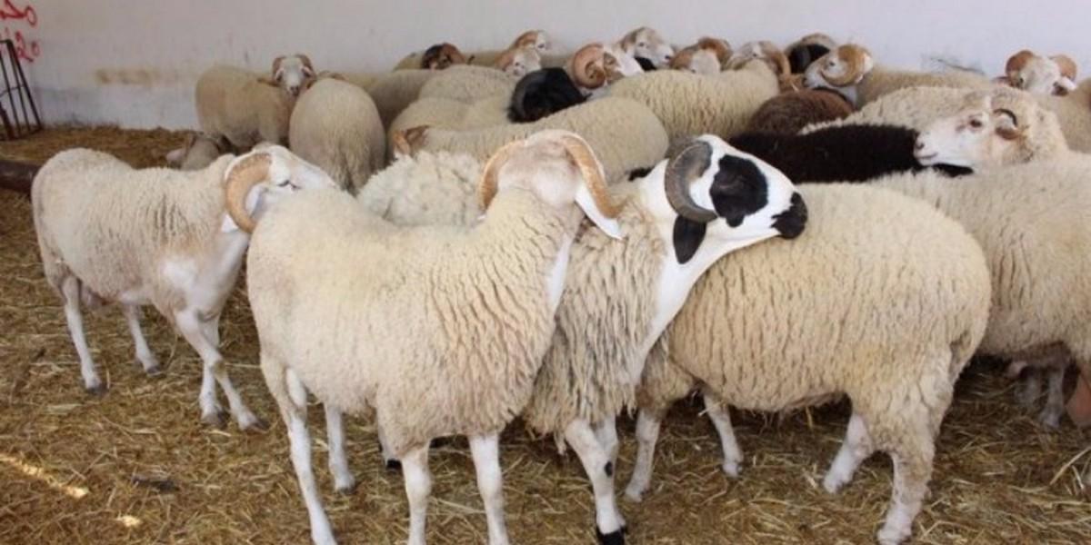 عيد الاضحى سيشهد فائضا في عدد الاضاحي ..وسعر الكلغ في حدود 13دينارا
