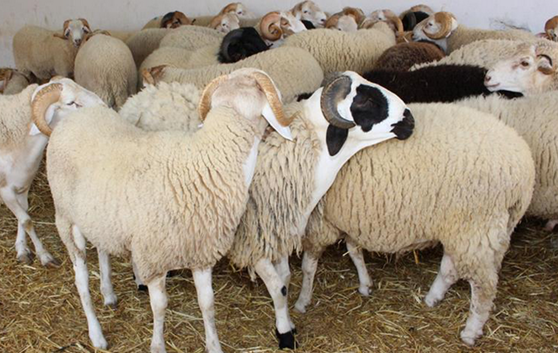 قريبا: موعد انطلاق بيع أضاحي العيد بمقر شركة اللحوم
