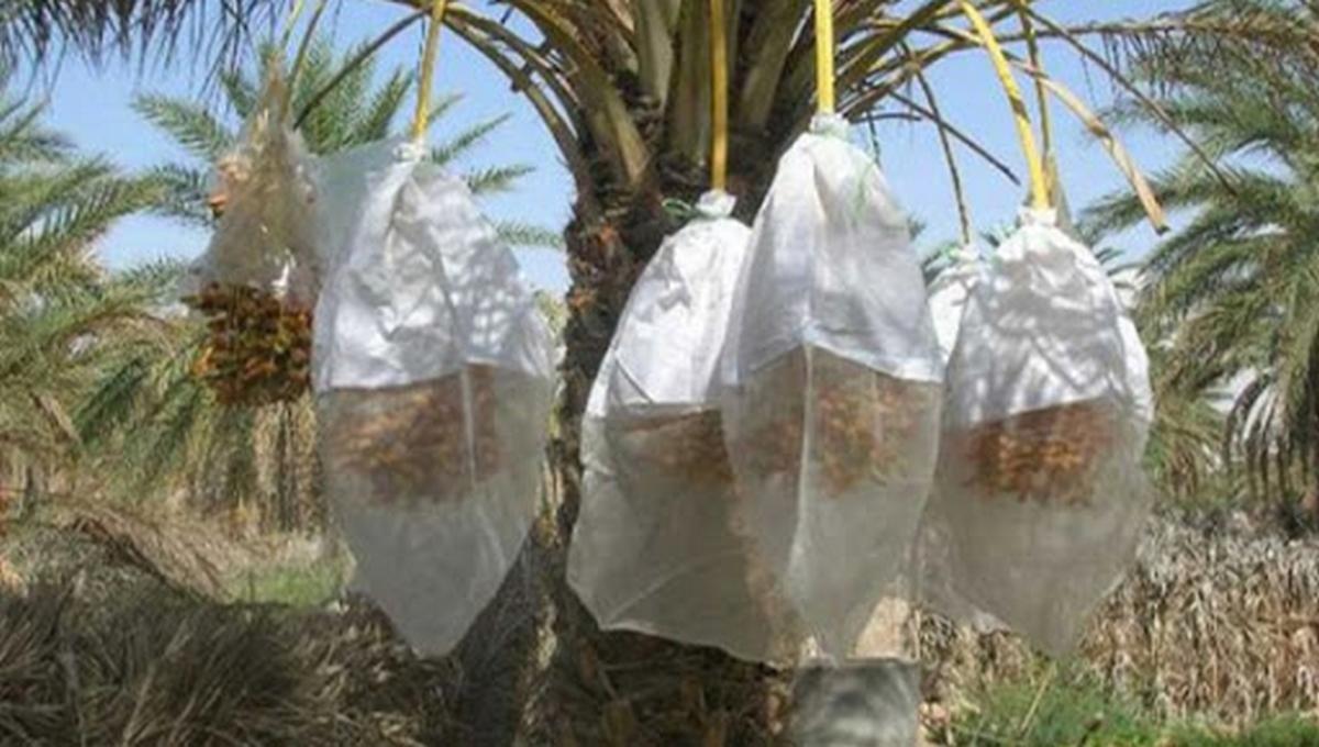 بداية تصنيع ناموسية تغليف التمور في تونس