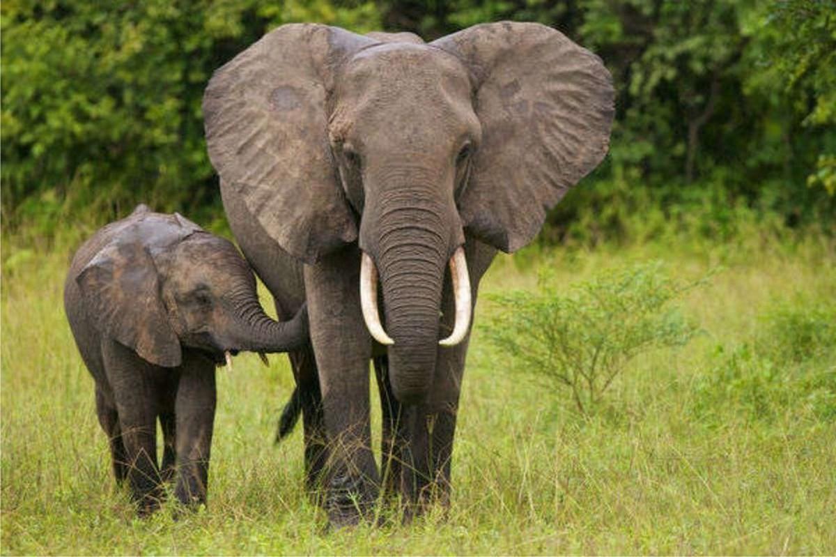 الفيلة في أفريقيا مهددة بالانقراض بسبب الصيد الجائر