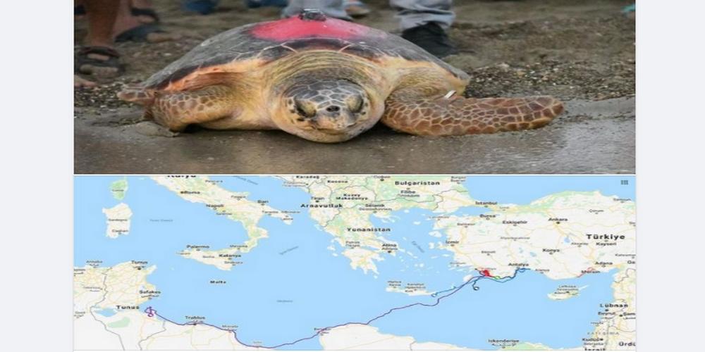 سُلحفاة تحطّ الرحال في الشواطئ التونسية قادمة من تركيا
