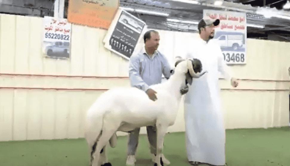 الكويت.. بيع خروف مقابل 200 ألف دولار